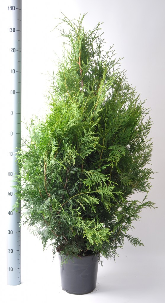 Thuja brabant 100-120 in pot