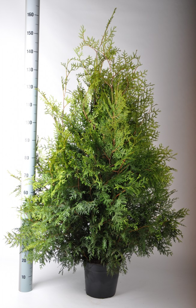 thuja brabant 120-140 in pot