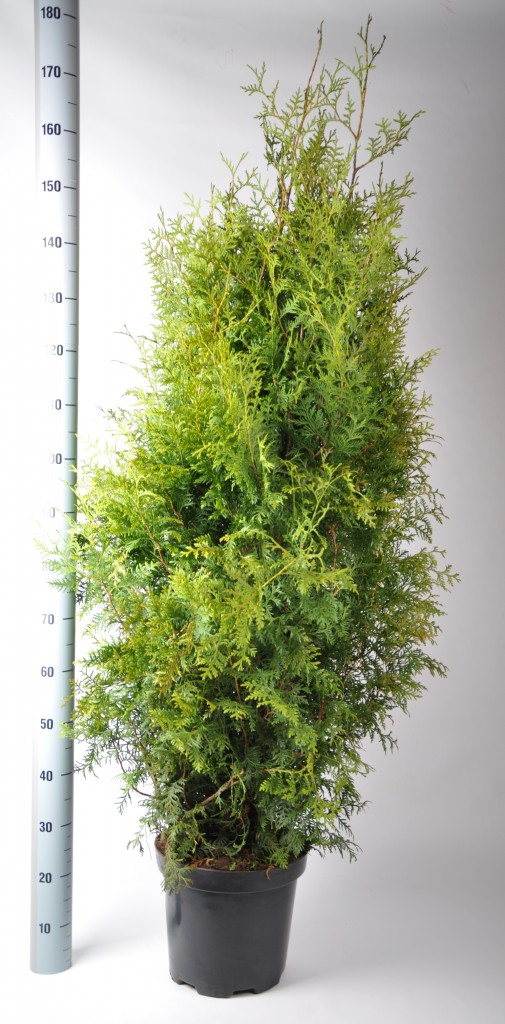 thuja brabant 140-160 in pot