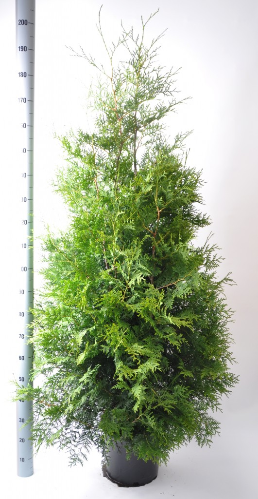 thuja brabant 160-180 in pot