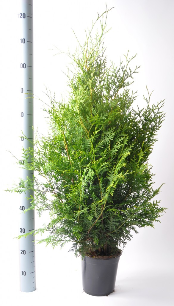 thuja brabant 80-100 in pot