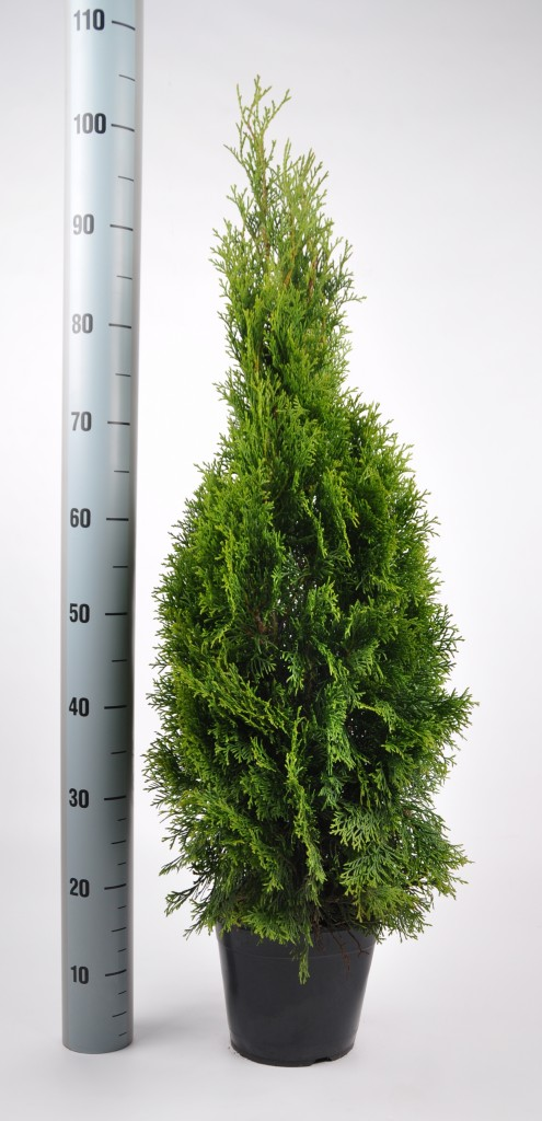 thuja smaragd 80-100 in pot